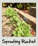 rocket sprout